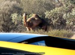 And   Exotics in the Outback 2007:  Lamborghini Gallardo and a Camel