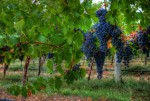 sti nut Photos Coonalpyn Road Trip: Big Grapes 2