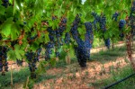 sti nut Photos Coonalpyn Road Trip: Big grapes